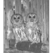 Barney The Barred Owl
